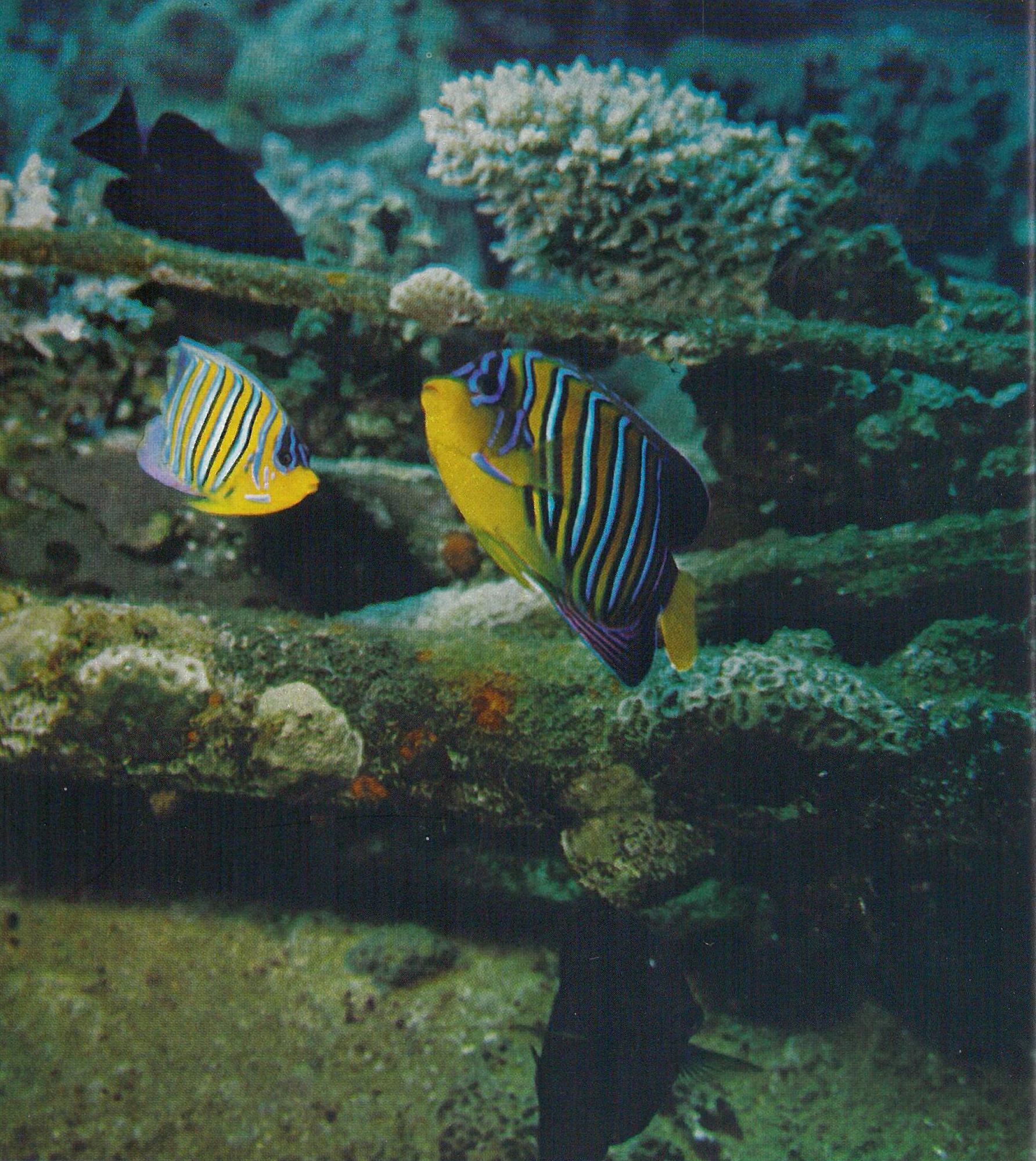 Fotografie eines Pfauen-Kaiserfisches (aus Sillner, Ludwig: Mit der Kamera auf Unterwasserjagd)